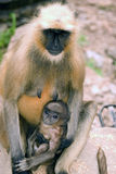 Hanuman langurs, Ranthambore National Park, India Royalty Free Stock Images