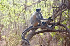 Hanunan Monkey (Leaf Monkey) Perched On Tree