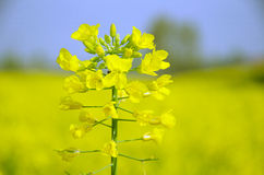 Hanzhong canola flower festival Stock Photos