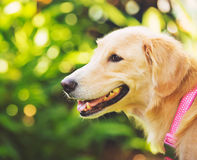 Haopy Golden Retriever in green outdoor Royalty Free Stock Photo
