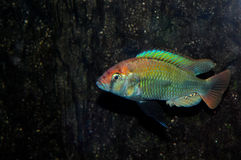 Haplochromis sp. ruby Royalty Free Stock Image