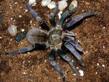 Haplopelma Lividum Royalty Free Stock Images