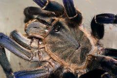 Haplopelma-longipes Tarantel Lizenzfreies Stockbild