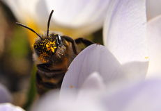 Happ-abelha Fotografia de Stock Royalty Free