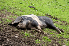 Happier than a pig in muck. Traditional British pig sleeping in a muddy field Stock Photos