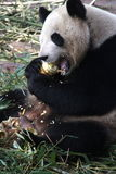 Happily chewing. Giant panda having some bamboo for breakfast Stock Images