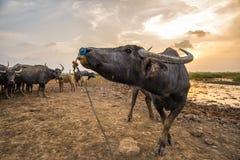 Happiness of the buffalo Stock Photo