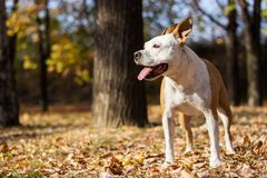 Happiness dog portrait, blur background. American Staffordshire Terrier dog royalty free stock images