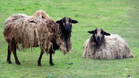 Easy Way Of Living Two  Sheep On Green Field Royalty Free Stock Photo