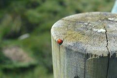 Happiness, harmony and balance. The ladybug Stock Photography