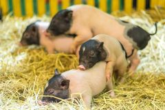 Happiness Little pigs have fun royalty free stock photos