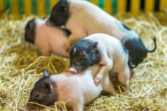 Happiness Little pigs have fun royalty free stock images