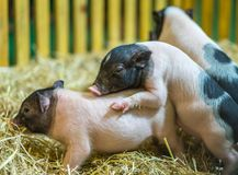 Happiness Little pigs have fun stock photo