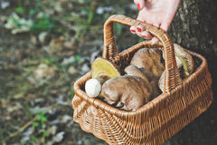 Happiness of mushroom picker. Basket with white porcini mushroom. Hand of mushroom picker holding a wicker basket full of white mushrooms in the forest Royalty Free Stock Photo