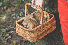 Happiness of mushroom picker. Basket with white porcini mushroom. Hand of mushroom picker holding a wicker basket full of white mushrooms in the forest Stock Photo