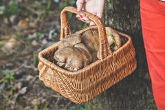 Happiness of mushroom picker. Basket with white porcini mushroom Stock Photo
