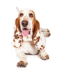 Happpy Basset Hound Dog With Spotted Ears royalty free stock image