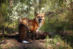 Happy. Female Fox standing at her den site and staring at the camera Royalty Free Stock Photo