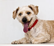 Happy. Dog lying on a table on a white background Royalty Free Stock Image