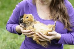 Happy abyssinian guinea pig Royalty Free Stock Image