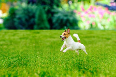 Happy active dog playing at  colorful garden lawn Royalty Free Stock Photography