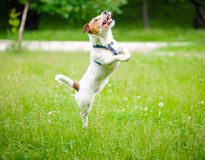 Happy active dog playing and jumping at spring park Royalty Free Stock Images