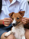 Happy active 7 months young Jack Russel Royalty Free Stock Image