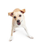 Happy and Active Small Breed Dog Royalty Free Stock Photography