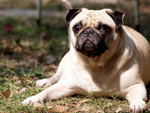 Happy active white pug Royalty Free Stock Images