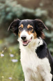 Cute border collie dog Royalty Free Stock Images