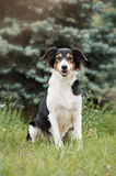 Cute border collie dog Royalty Free Stock Photo