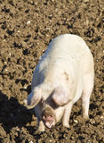Happy adult female pig, rooting in mud Royalty Free Stock Photo