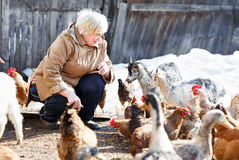 Happy adult woman cares little goats and chickens Stock Images
