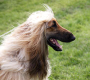Happy Afghan Hound Royalty Free Stock Image
