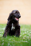 Happy afghan hound puppy sitting on grass Stock Photography