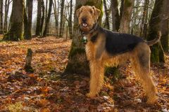 Happy airedale terrier dog in autumn setting royalty free stock photo