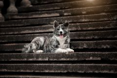 A happy Akita lies on the stairs with his tongue sticking out. stock photography