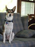 Alert Rat Terrier Sitting on Couch royalty free stock photography
