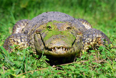 The happy alligator Royalty Free Stock Photo
