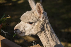 Happy Alpaca Stock Photos