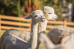 Happy Alpaca. Being fed grass, eating, with green grassy background Stock Photography