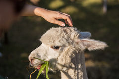 Happy Alpaca Stock Images