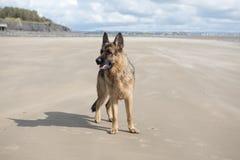 Happy Alsatian dog playing on a sandy beach Stock Photos