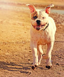 Happy american bulldog Royalty Free Stock Photo