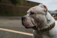 Happy American Bully dogs in the spring. royalty free stock photography