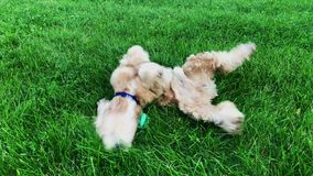 Happy male dog rolling on green grass stock video footage