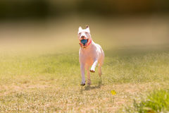 Happy American pit bull terrier dog running at a park. Stock Images