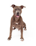 Happy American Staffordshire Terrier Dog Sitting Royalty Free Stock Photo