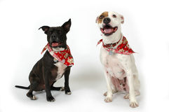 Happy Animals. Happy dogs making funny faces on white background. Two Dogs, one white and one black royalty free stock photo