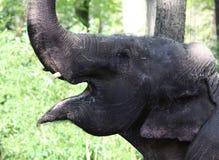 Happy Asian elephant Royalty Free Stock Image